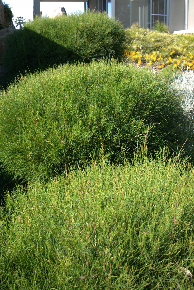 Trialling Casuarina Green Wave Mallee Design