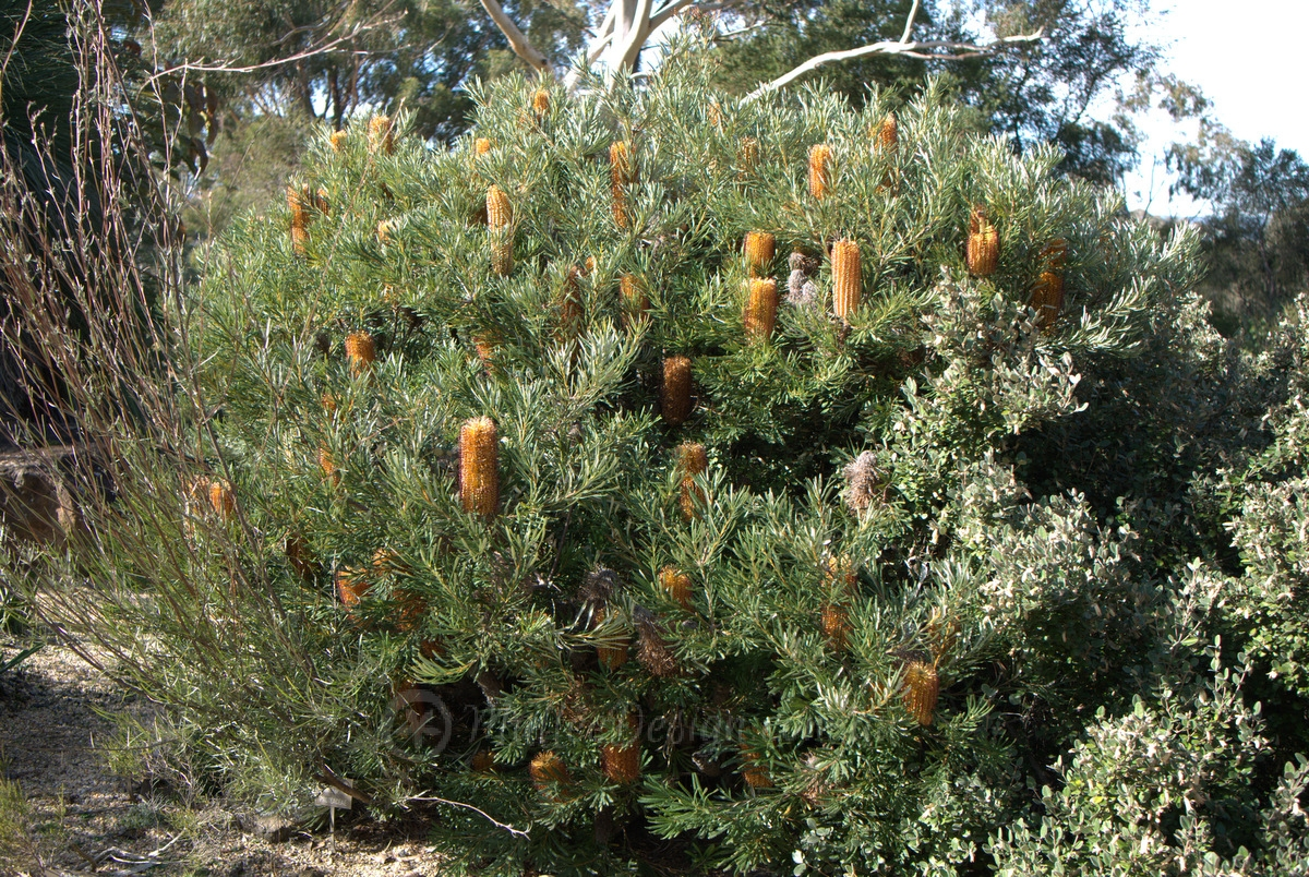 how to grow a banksia birthday candles from seeds