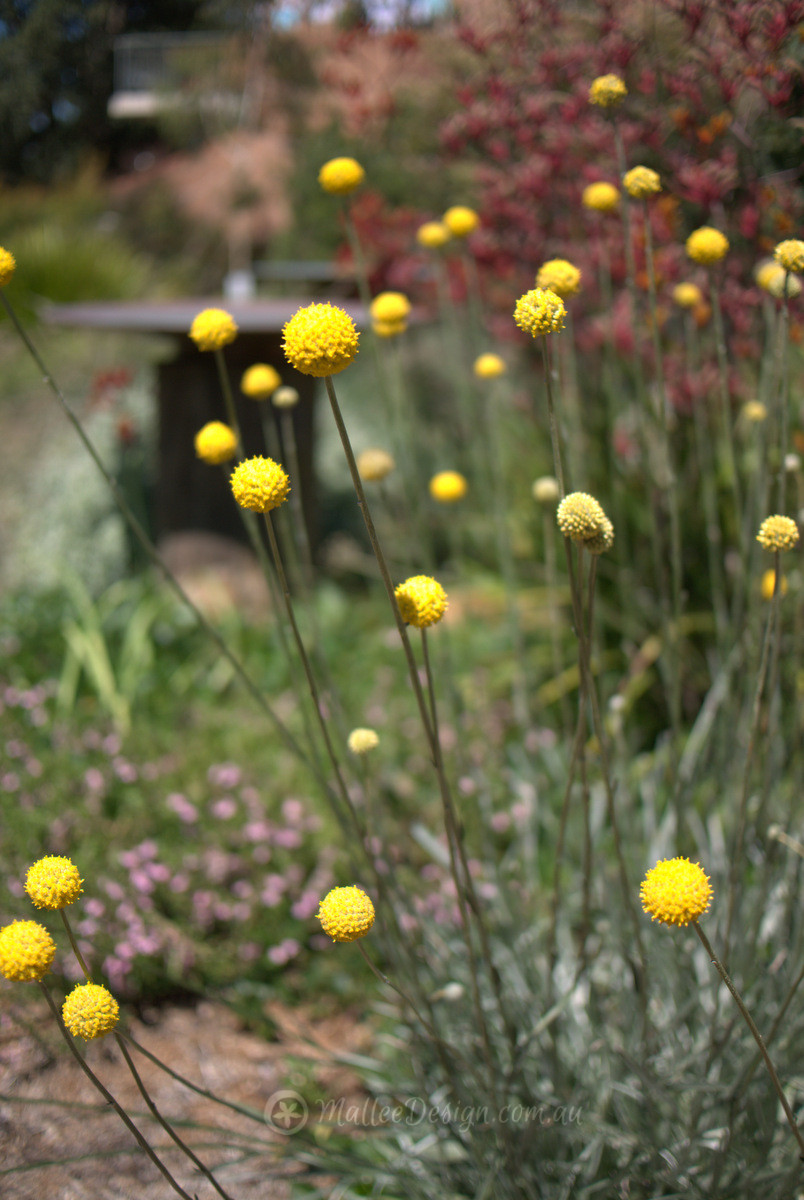 The happiest daisy pycnosorus globosus mallee design billy buttons is a native daisy with an immense power to make anyone smile there is something about its large bright yellow ball flowers standing to mightylinksfo
