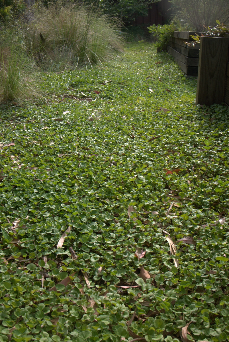 Native Lawn Substitute Dichondra Repens Mallee Design