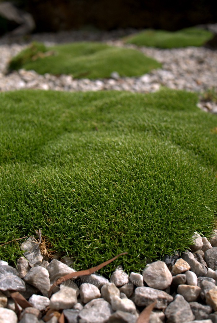 Sun Loving Moss Scleranthus Biflorus Mallee Design